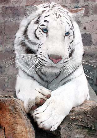 знак тигр под знаком овна