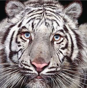 человек рожденный в год тигра под знаком овна