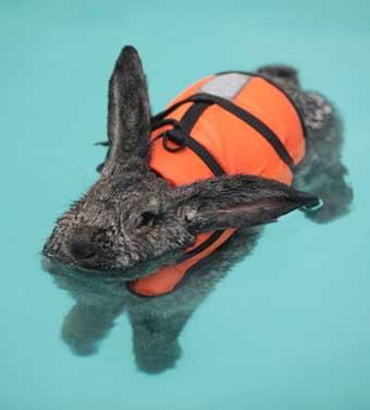 Кролик (заяц) - водной стихии