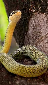Знак древесной Змеи
