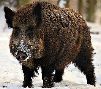 люди рожденные под знаком свиньи