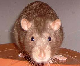 Металлическая  Крыса Китайский гороскоп