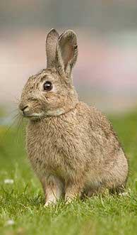 земной кролик китайский гороскоп