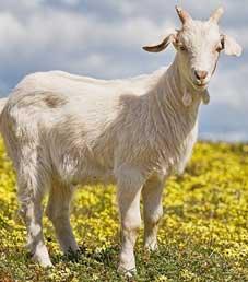 Знак Деревянной Козы (Овцы)