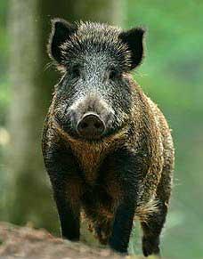 Знак Металлической Свиньи (Кабана)